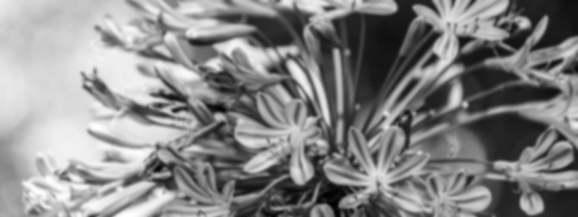Blüte eines Agapanthus