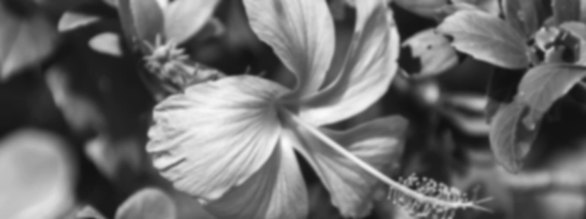 Nahaufnahme einer Hybiscusblüte