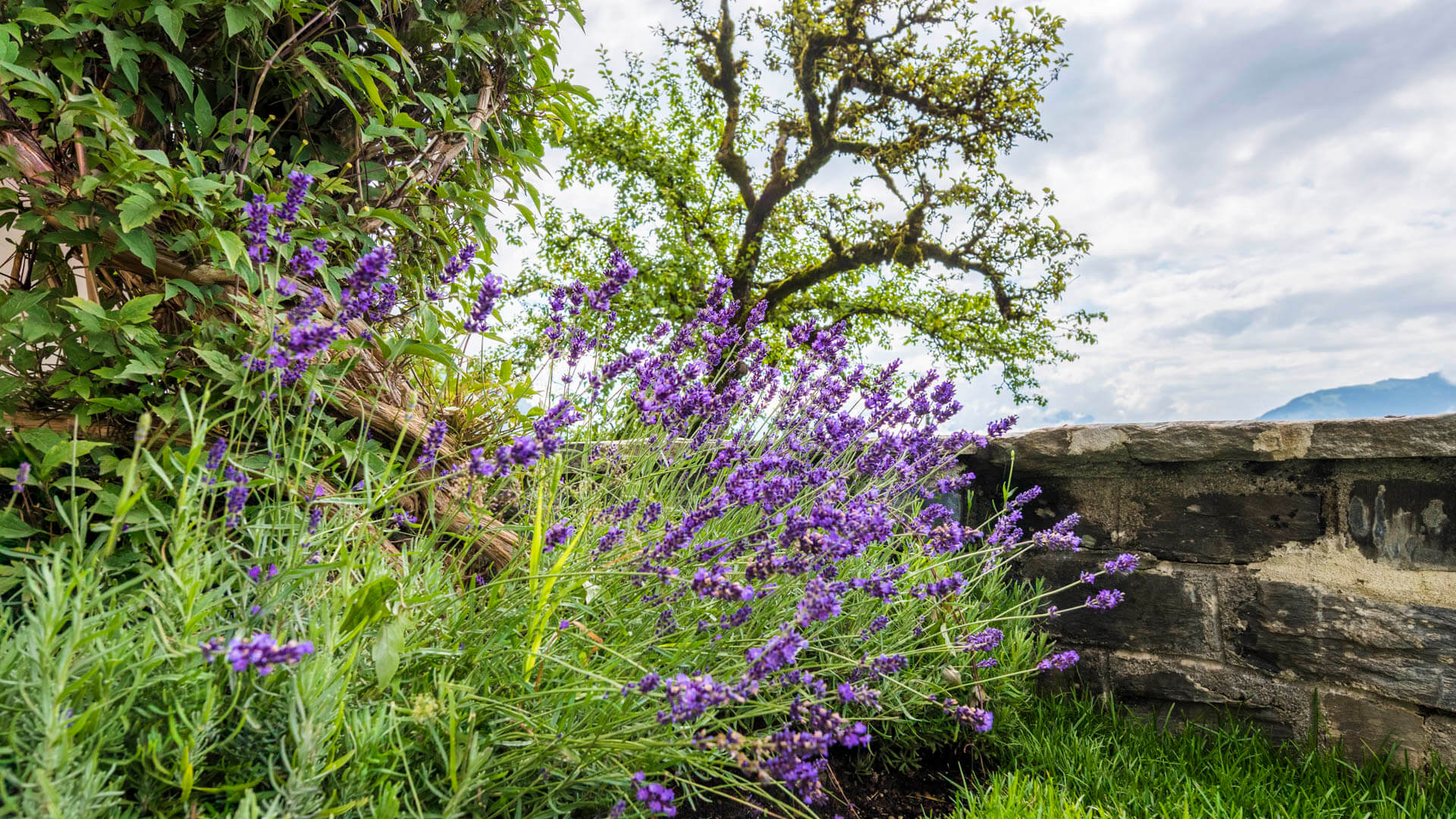 Lavendel mit Clematis und Apfelbaum im Hintergrund