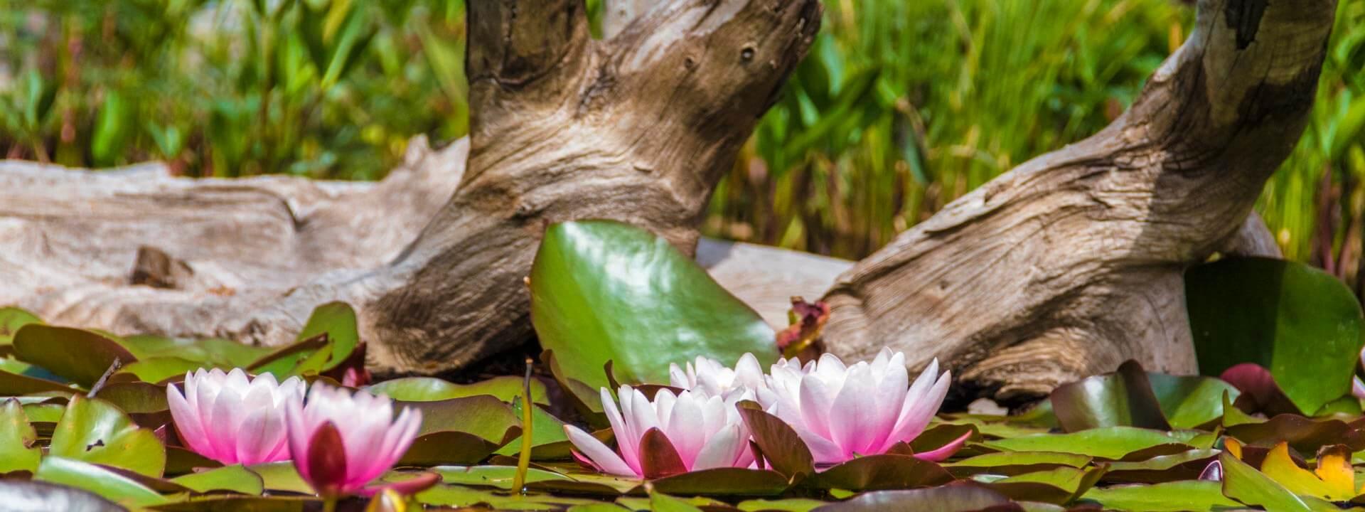 Seerosen vor in einem Teich mit einem Ast im Hintergrund